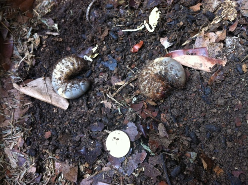 That round silver thing is a coin the size of a 1p - gives perspective to the grubs i found in the garden!