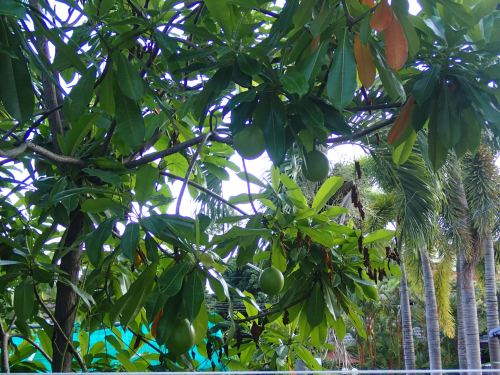 Avocados growing next to the pool