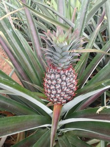 We passed fields and fields of pineapples. If only we had a machete!