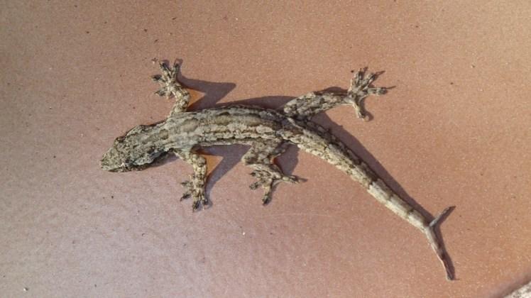Gecko alert!